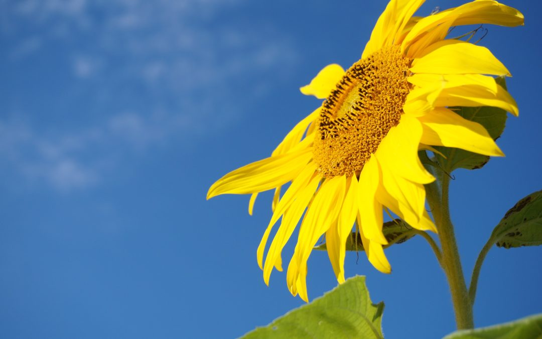 Hi-Oleic Sunflower Oil – What is it?
